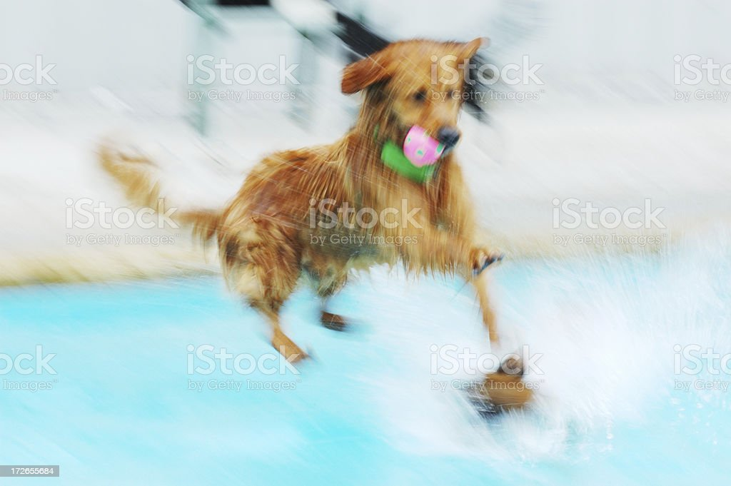 motion blur: dog jumping in pool royalty-free stock photo