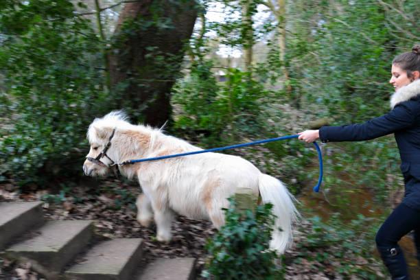 motion blur walking white maned palomino miniature shetland pony - whiteway pony stock photos and pictures