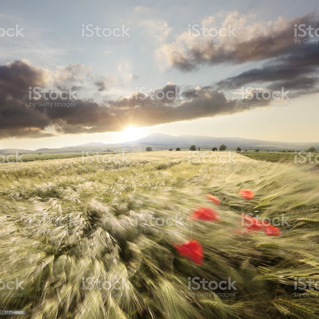 Motion picture of summer wheat field at sunset royalty-free stock photo