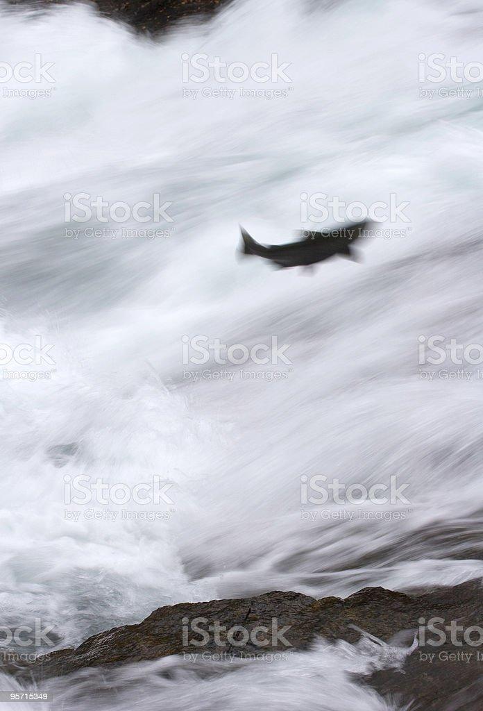 Motion-blurred chinook salmon stock photo