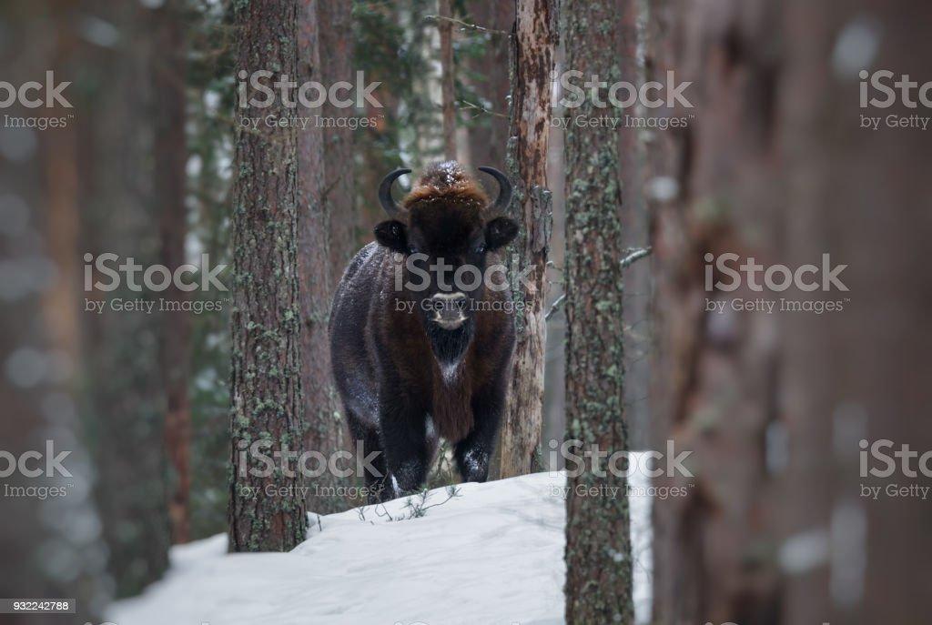 Immobiles grands bruns bisons sauvages (Bison d'Europe) dans la forêt de l'hiver. Aurochs européen (Bison, Bison Bonasus) debout parmi les arbres. Gros Bison des bois européens dans la Nature Habitat.Belarus - Photo