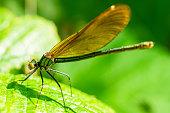 A green dragonfly sits on a leaf