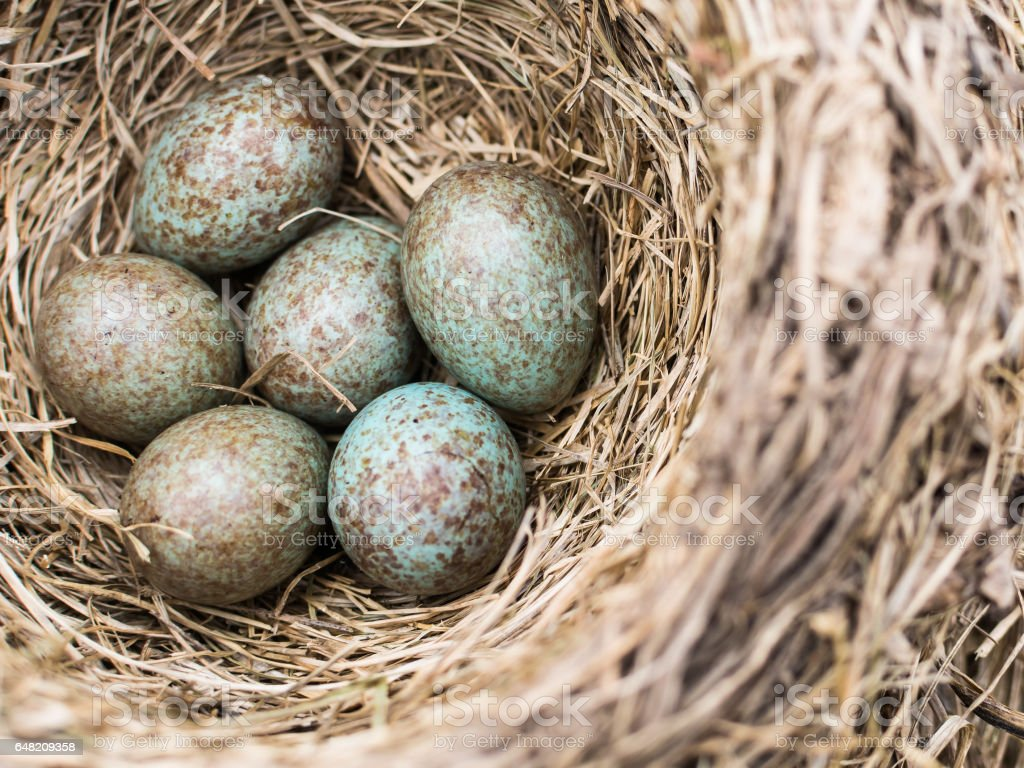 Motley blue and grey cuckoo egg in the nest stock photo