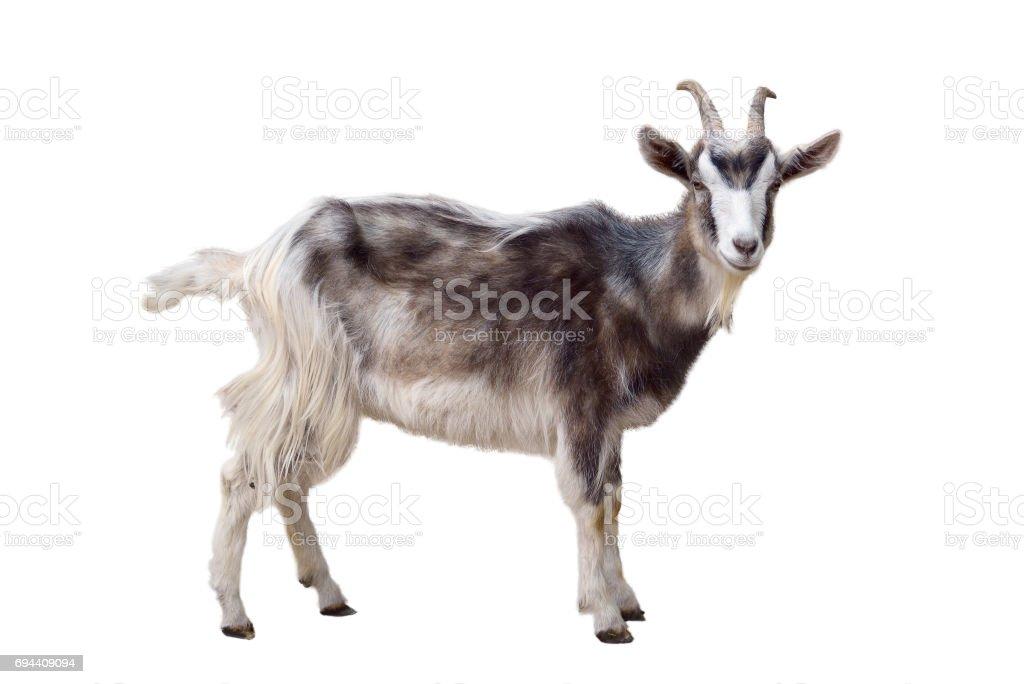 Heterogéneo cabra isolada - foto de acervo