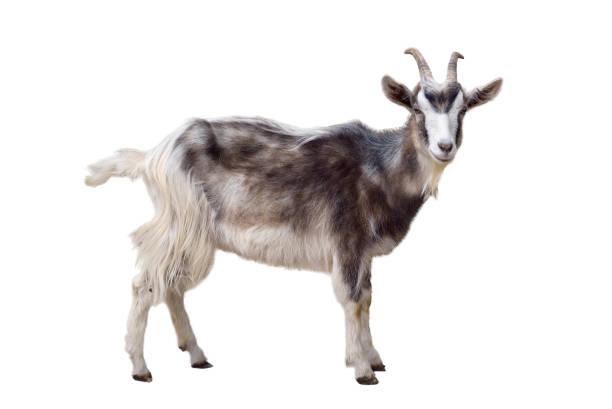 Chèvre hétéroclite isolé - Photo
