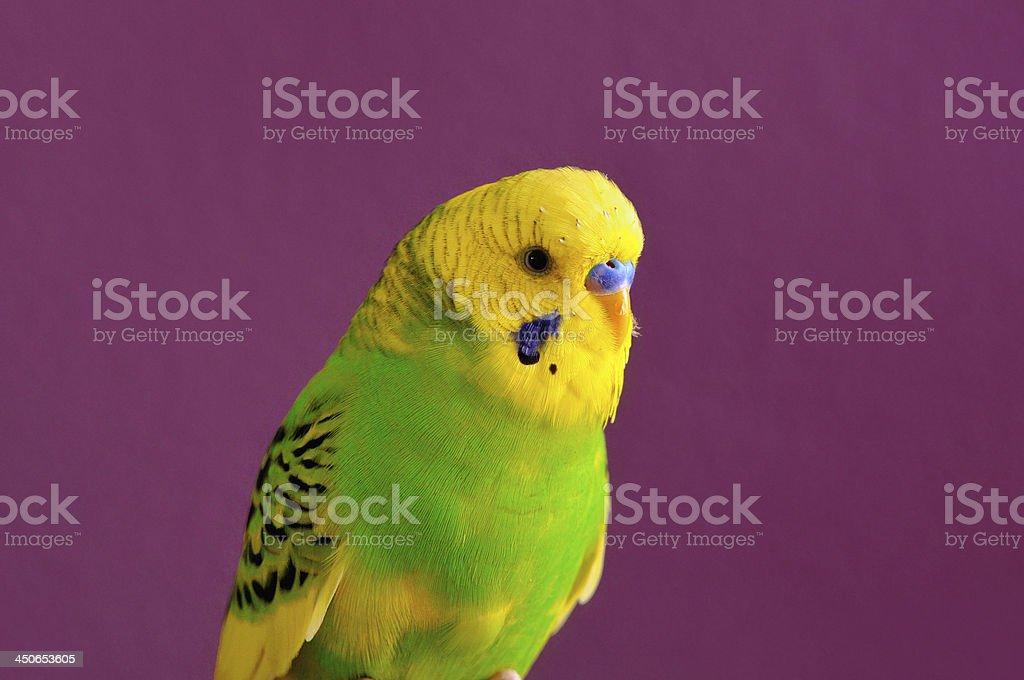 Motley yellow-green budgerig parrot closeup royalty-free stock photo