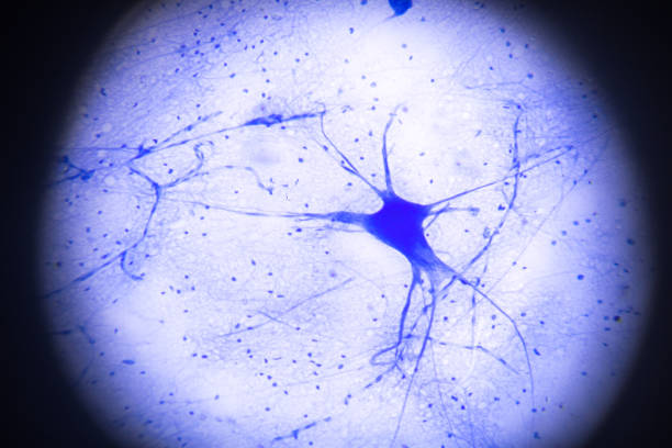 motor nerve cells in microscopy stock photo