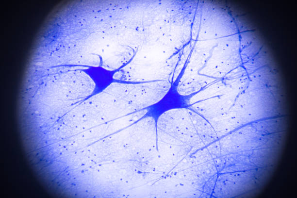 motor nerve cells in microscopy motor nerve cells in microscopy motor neuron stock pictures, royalty-free photos & images