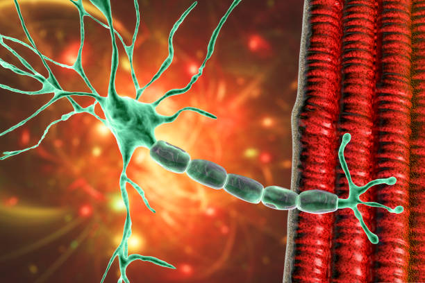 Motor neuron connecting to muscle fiber, 3D illustration stock photo