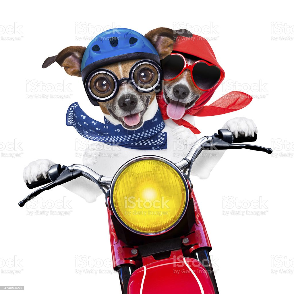 motorbike couple of dogs stock photo