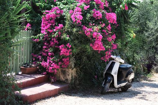 Motorbike parked near beautiful bush of bougainvillea flowers in Rhodes town on Rhodes island, Greece