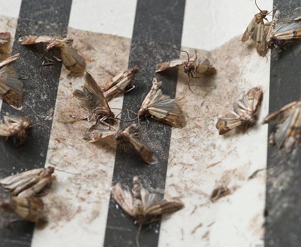 motte trap-klebefalle mottenfalle - mottenfalle stock-fotos und bilder
