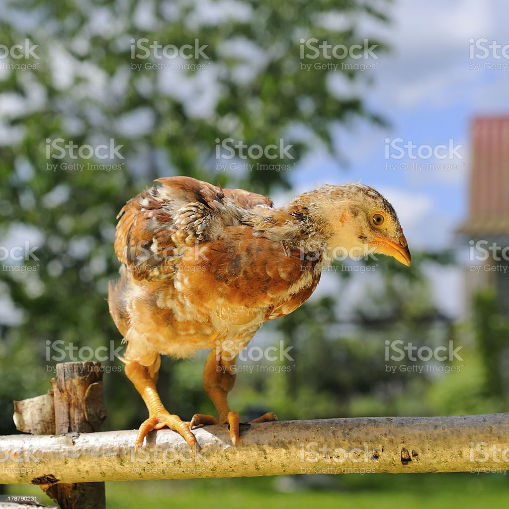 Mottled Baby Chicken on Perch royalty-free stock photo