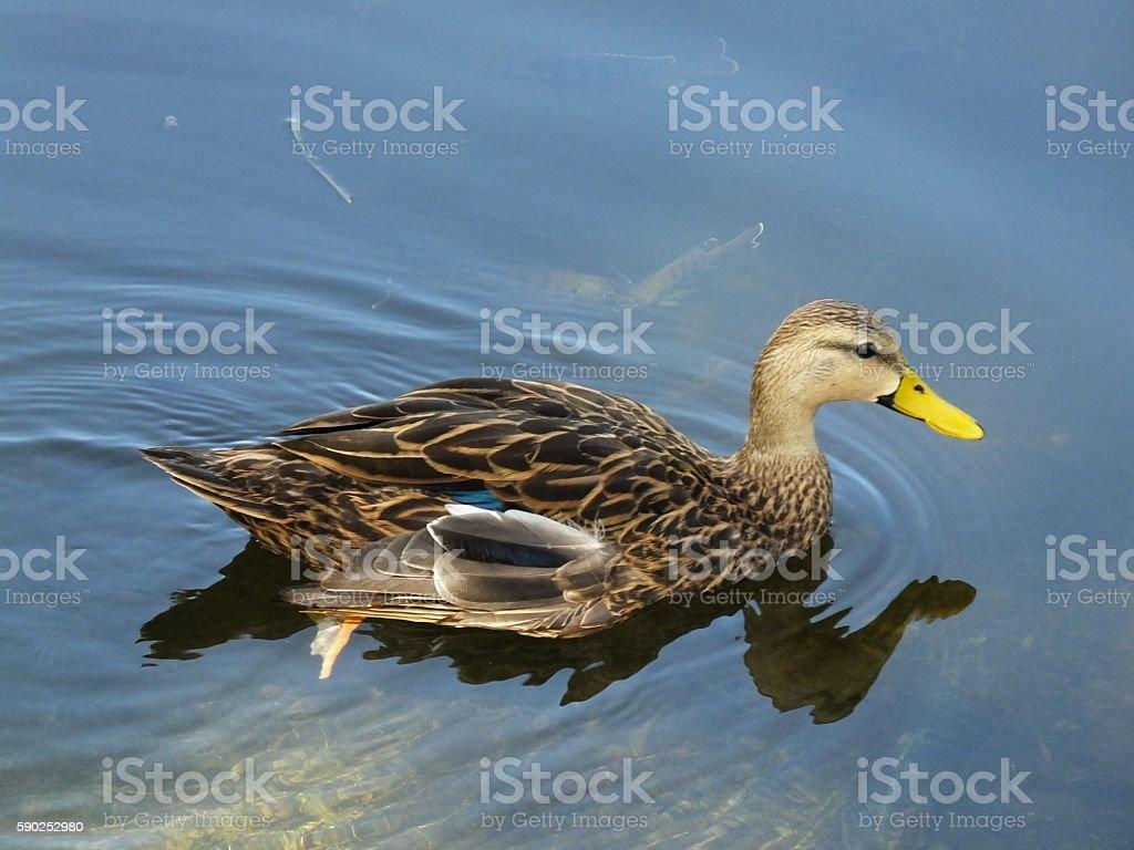Mottled Duck (Anas fulvigula) stock photo