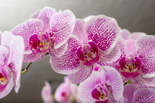 A closeup view of a pink mottled Phalaenopsis orchid plant.