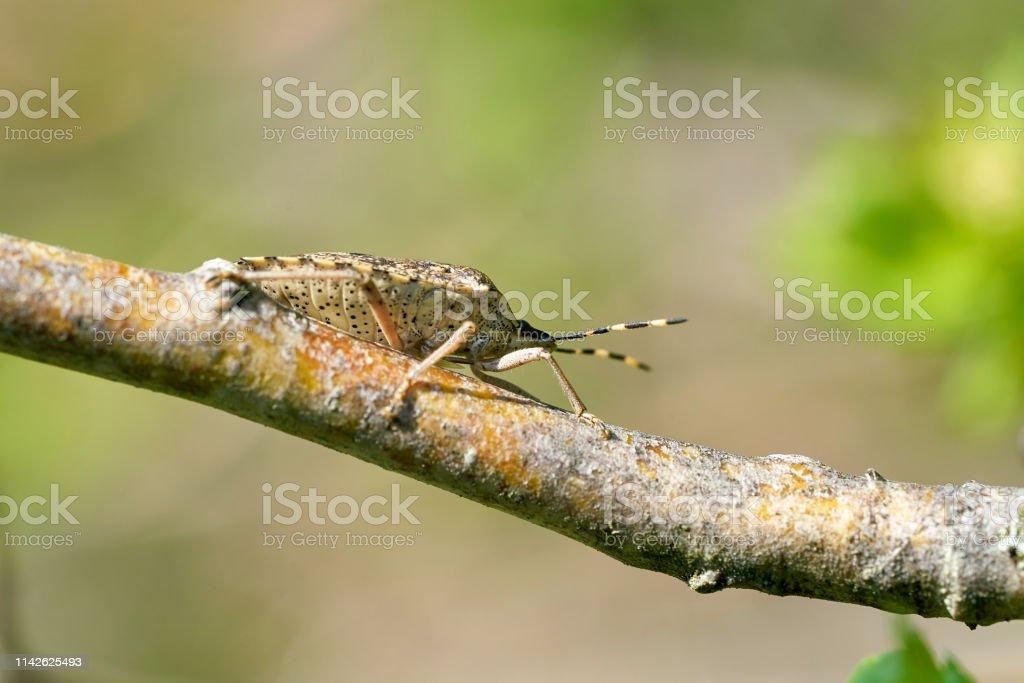 Mottled Shieldbug (Rhaphigaster nebulosa) – Foto