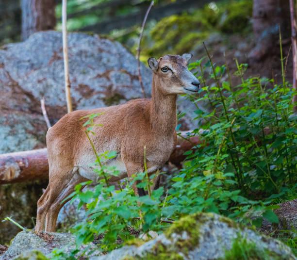 mouflon (ovis orientalis) nahaufnahmen - steinbock mann stock-fotos und bilder