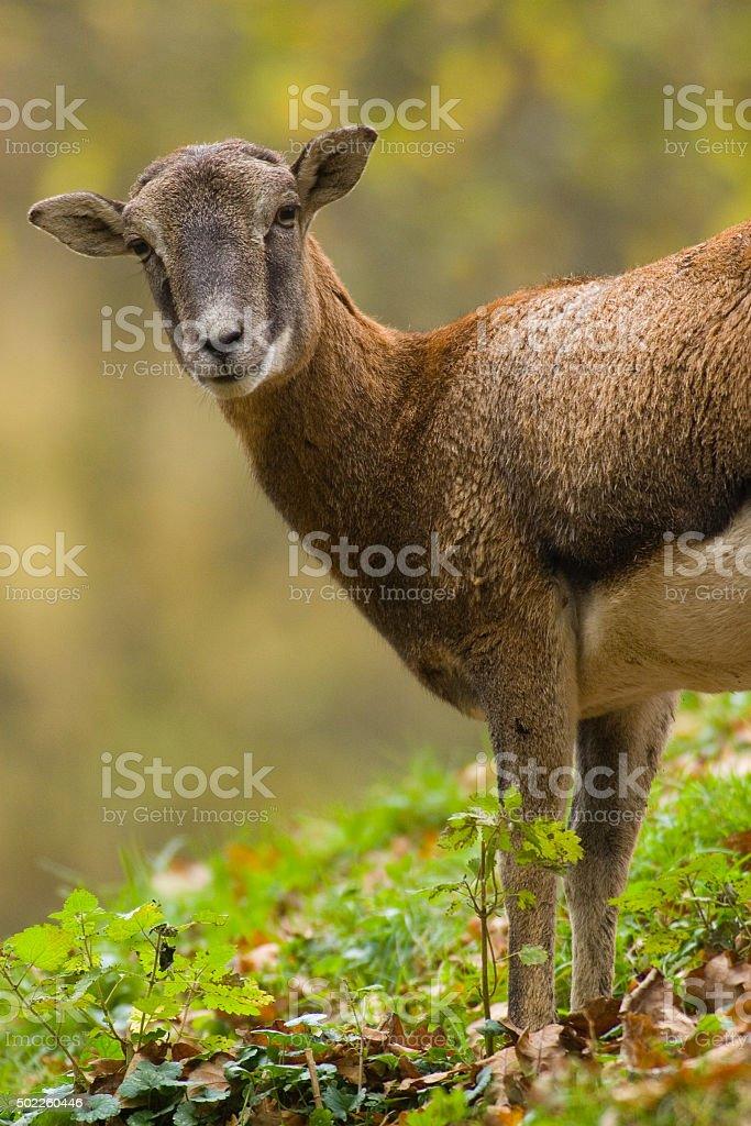 Mouflon Female in Autumn stock photo