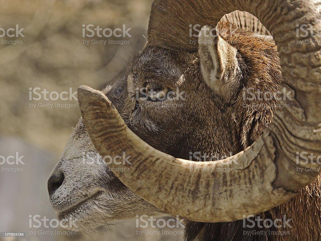 Mouflon (Ovis musimon) royalty-free stock photo