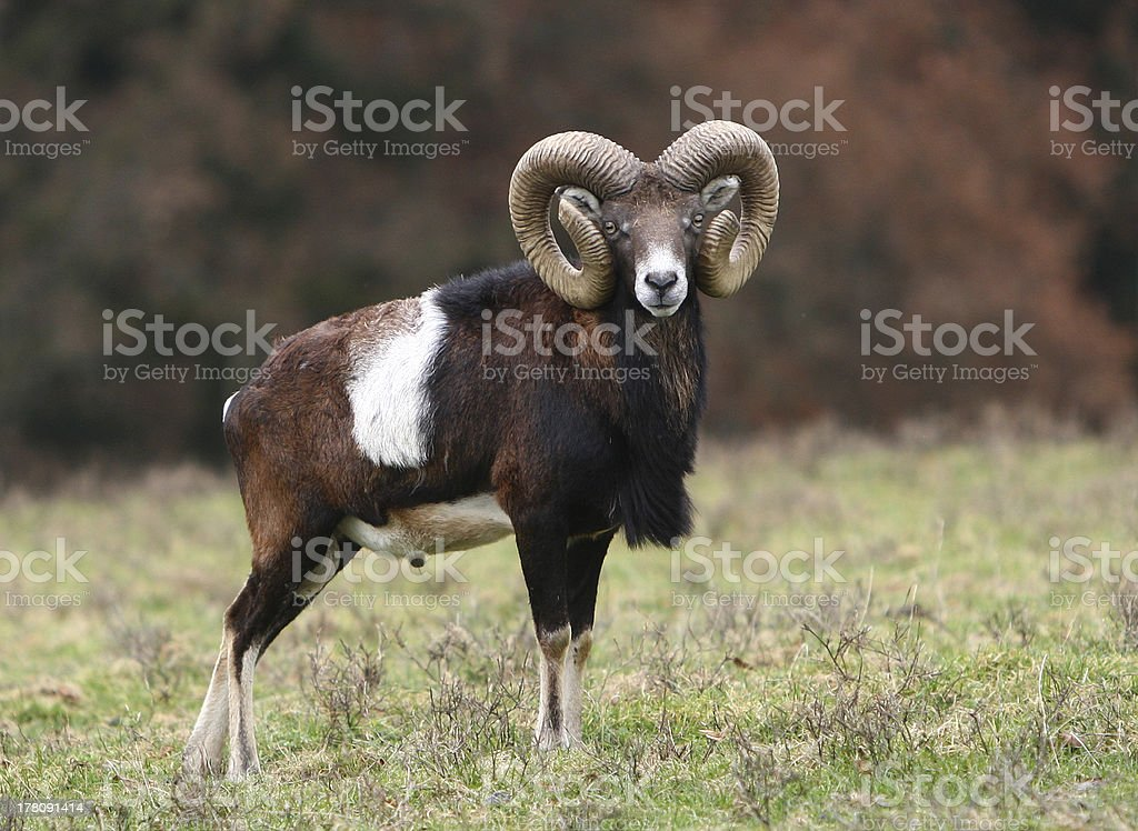 Mouflon stock photo