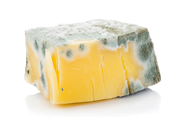 Mouldy Cheddar Cheese Piece of inedible mouldy cheese isolated on white background.   fungal mold stock pictures, royalty-free photos & images