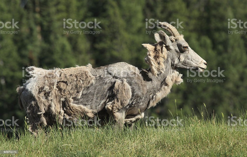 Moulting Bighorn Sheep royalty-free stock photo