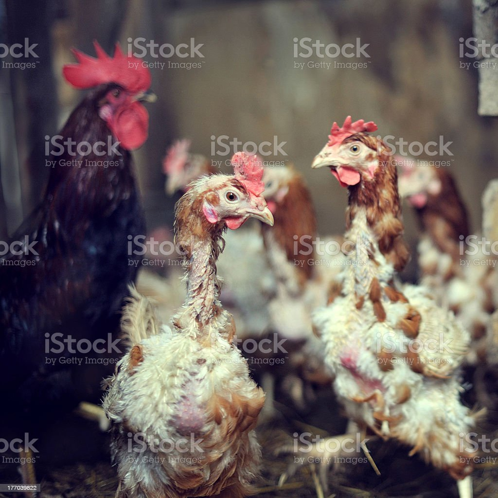 Moulting Chicken stock photo