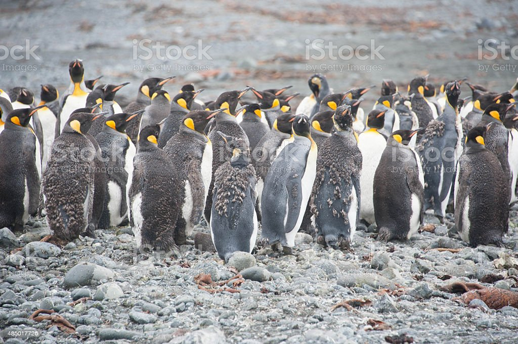 Moulting King Penguins stock photo