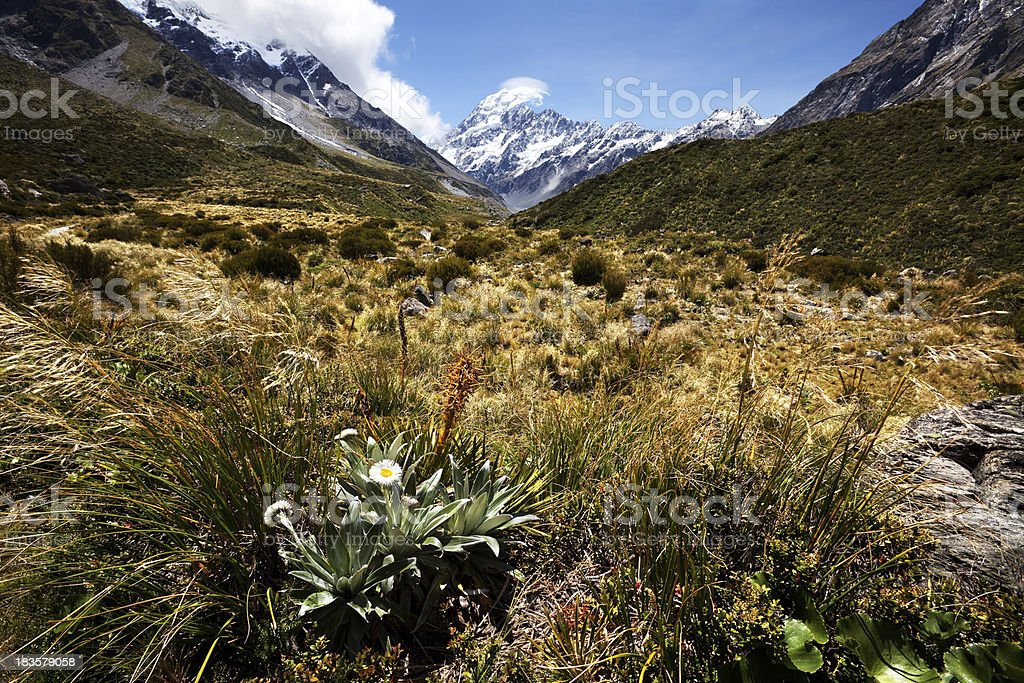 Mount Cook and Mountain Daisy  in New Zealand royalty-free stock photo