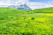 Mount Crested Butte, Colorado mountain point peak view in background on Snodgrass trail in summer with field meadow of buttercup yellow flowers wildflowers
