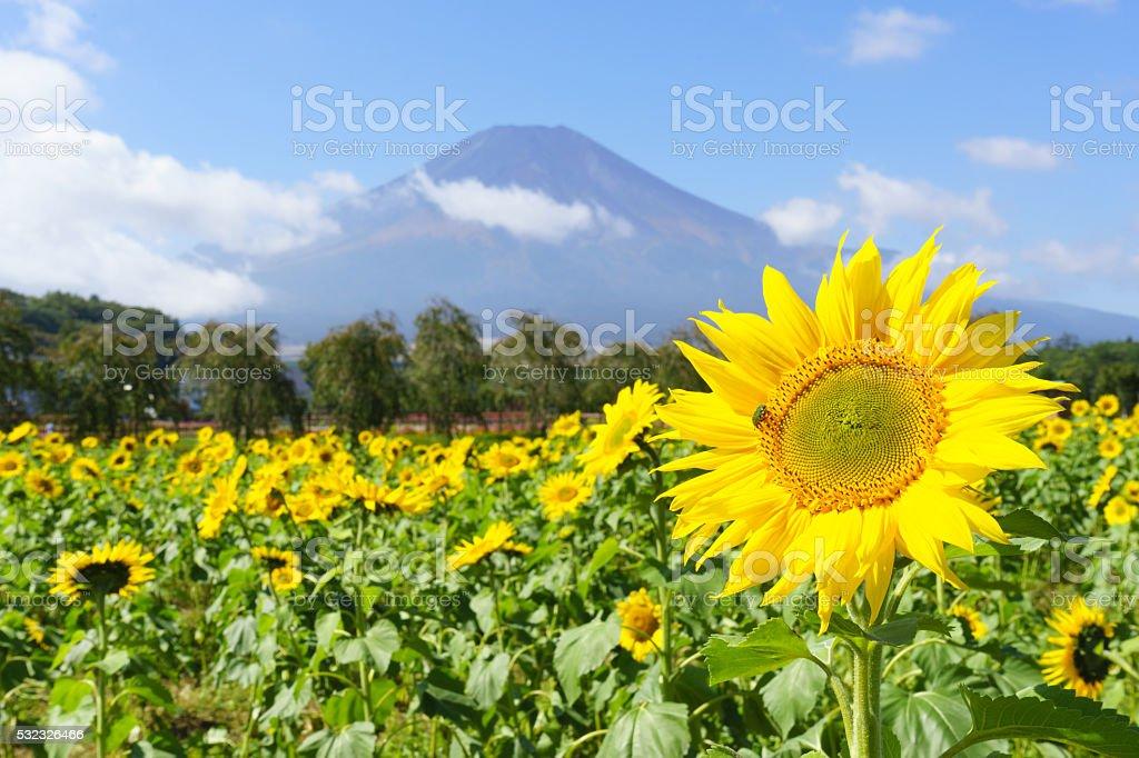富士山、サンフラワー ストックフォト