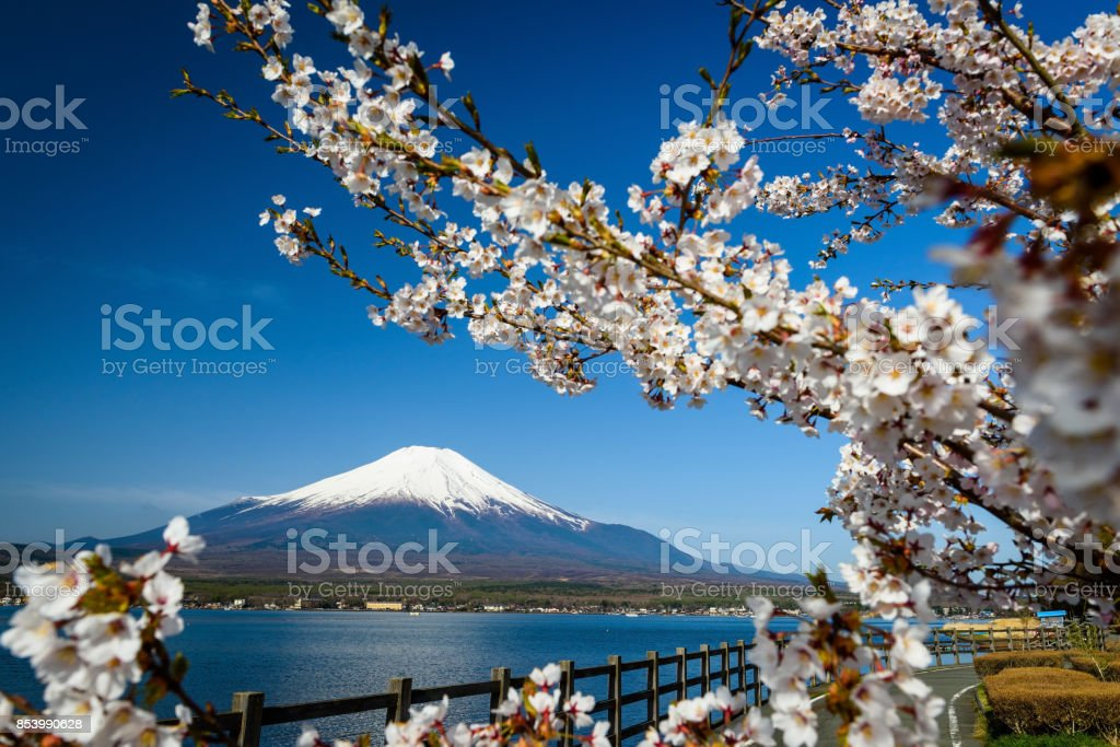 Mount Fuji surrounded by white cherry blossom or sakura with clear blue sky at Yamanaka lake, Yamanashi stock photo
