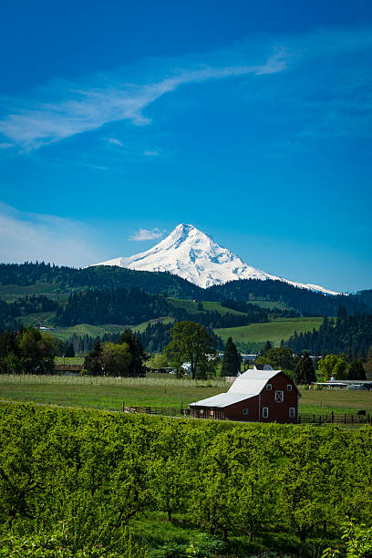 Mount Hood and apple orchards in Oregon Snowy Mount Hood and apple orchards in the Hood , Oregon River Valley hood river valley stock pictures, royalty-free photos & images