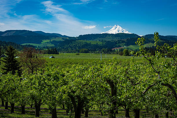 Mount Hood and apple orchards, Oregon Snowy mount hood among apple orchards in the hood River Valley, Oregon hood river valley stock pictures, royalty-free photos & images