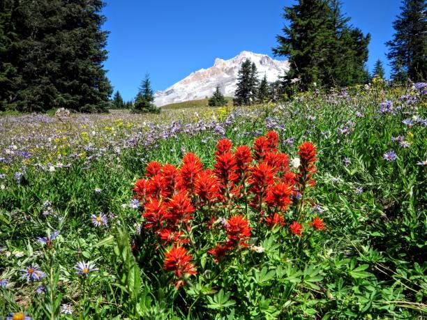 mount hood national park - pacific crest trail stock-fotos und bilder