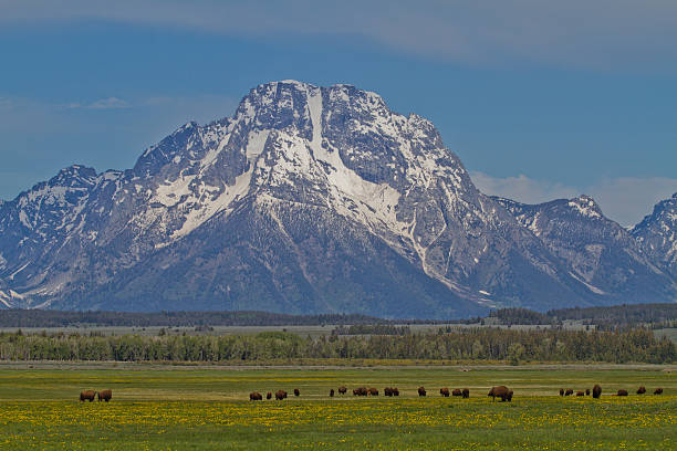Mount Moran and Bison stock photo