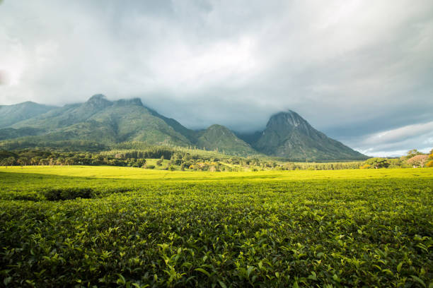 Mount Mulanje with golden green tea plantations stock photo