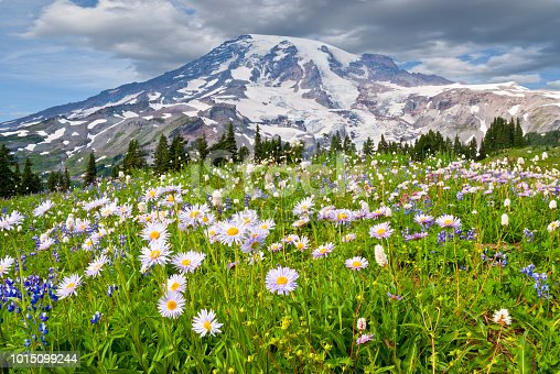 Mount Rainier at 14,410' is the highest peak in the Cascade Range. This image was photographed from the beautiful Paradise Meadows at Mount Rainier National Park in Washington State. The image shows the meadow in full bloom with aster, lupine, bistort and other wildflowers.