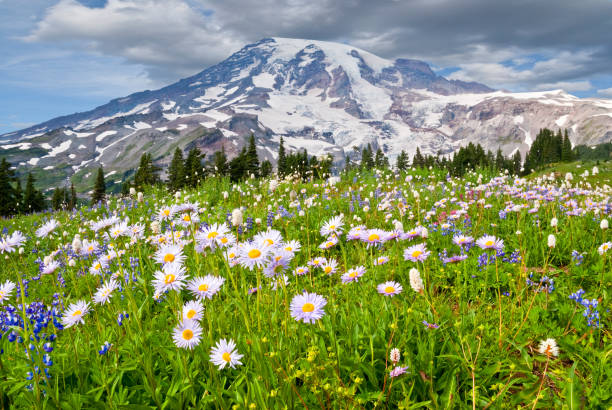 Mount Rainier and a Meadow of Aster Mount Rainier at 14,410' is the highest peak in the Cascade Range. This image was photographed from the beautiful Paradise Meadows at Mount Rainier National Park in Washington State. The image shows the meadow in full bloom with aster, lupine, bistort and other wildflowers. mt rainier stock pictures, royalty-free photos & images