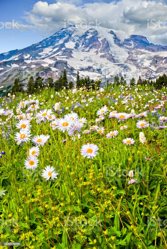 Mount Rainier and a Meadow of Aster stock photo