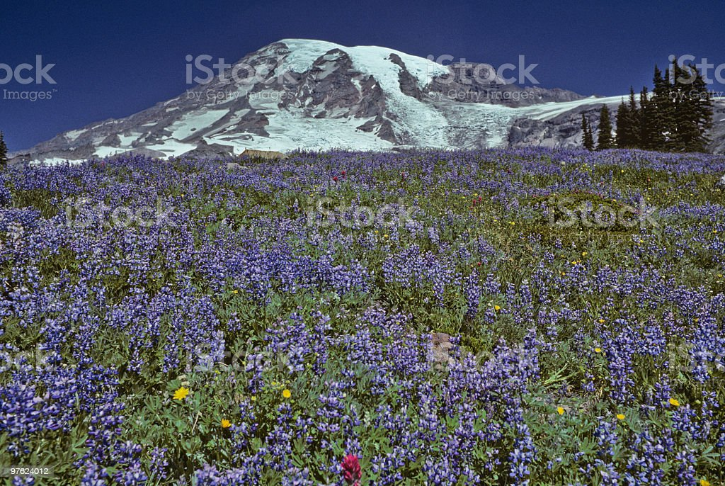 Mount Rainier and Meadow of Lupine royalty-free stock photo