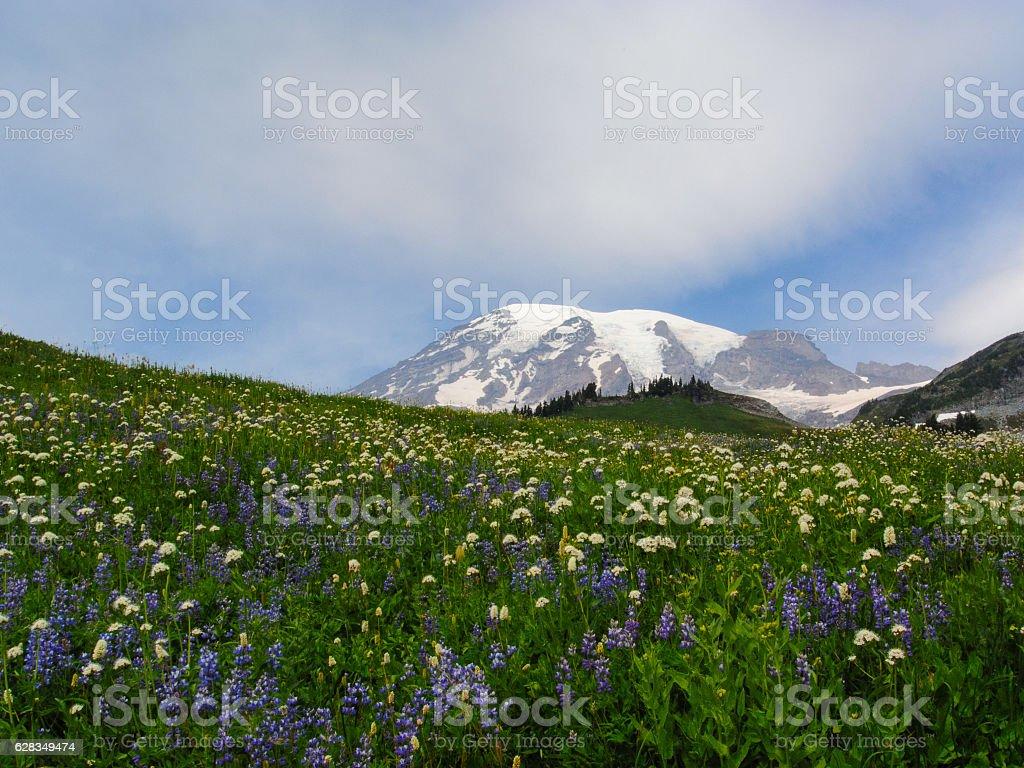 Mount Rainier in a field of wildflowers stock photo