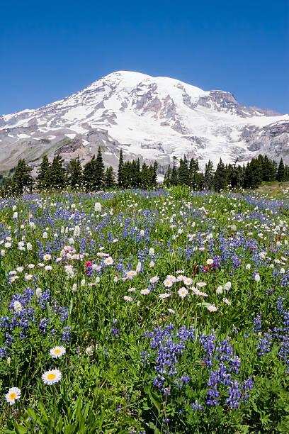 Mount Rainier Wild Flowers 1 stock photo
