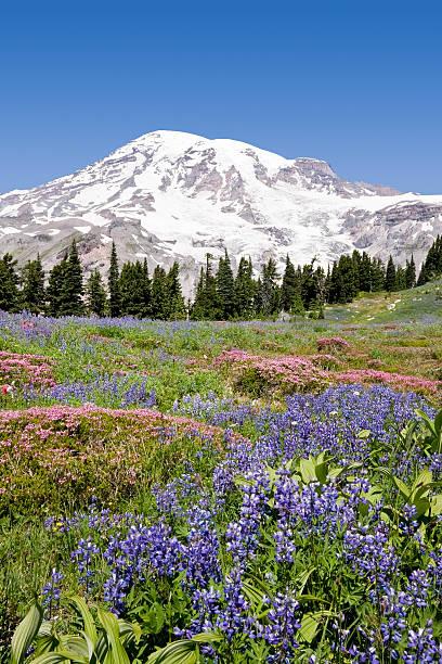 Mount Rainier Wild Flowers 2 stock photo