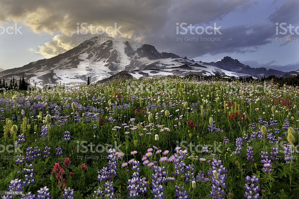 Mount Rainier Wildflower Sunset stock photo