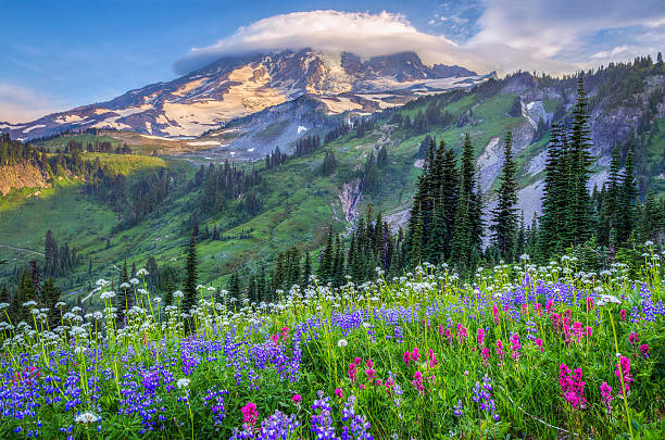 Mount Rainier wildflowers Mount Rainier wildflowers lenticular cloud stock pictures, royalty-free photos & images