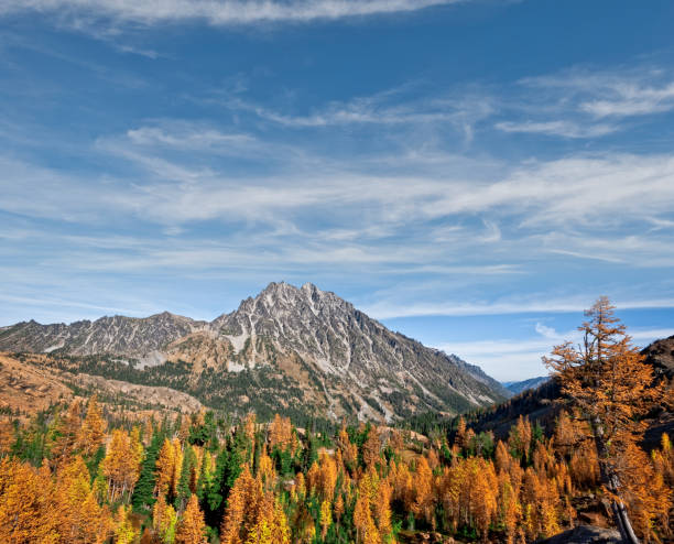 Mount Stuart and Headlight Basin in the Fall There's a very unusual conifer tucked away in the high alpine basins of the Cascade Range of the Pacific Northwest. Each October when fall comes to the high country, the needles of the Alpine Larch change from green to glowing gold before they drop from the tree.  This photograph, with Mount Stuart in the background, was taken from Ingall's Pass in the Alpine Lakes Wilderness of Washington State, USA. jeff goulden stock pictures, royalty-free photos & images