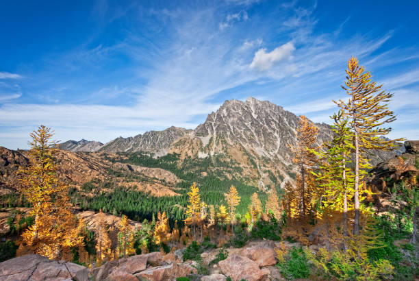 Mount Stuart in the Fall There's a very unusual conifer tucked away in the high alpine basins of the Cascade Range of the Pacific Northwest. Each October when fall comes to the high country, the needles of the Alpine Larch change from green to glowing gold before they drop from the tree.  This photograph, with Mount Stuart in the background, was taken from Ingall's Pass in the Alpine Lakes Wilderness of Washington State, USA. jeff goulden stock pictures, royalty-free photos & images