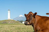 Mount Taranaki with cow and Lighthouse