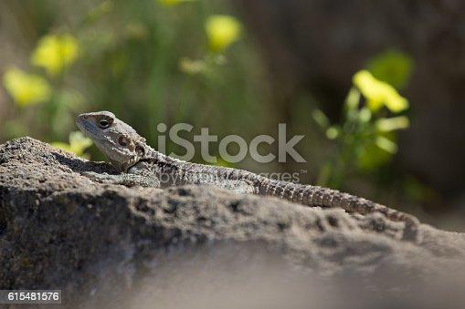 Mountain agama (Laudakia stellio) basking on a rock on the natural green blur background.